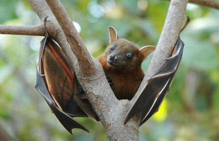 Африканские фруктовые летучие мыши