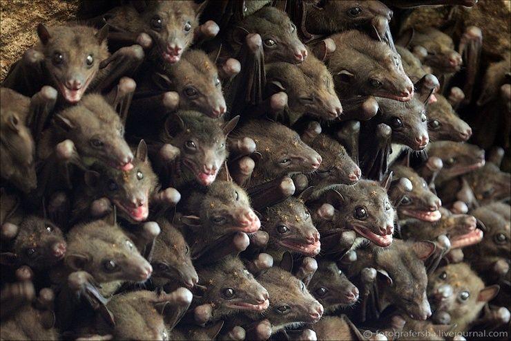 Африканские летучие мыши