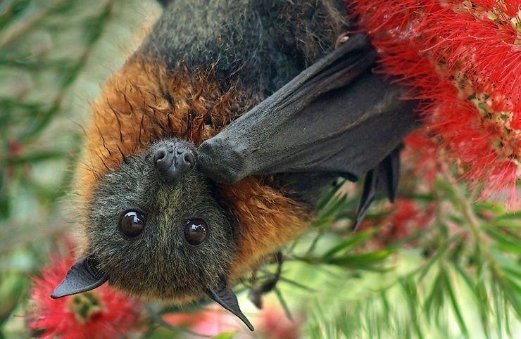австралийские Летучие лисицы