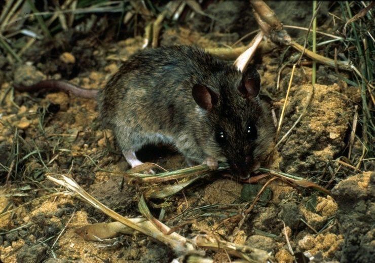 многососковые крысы