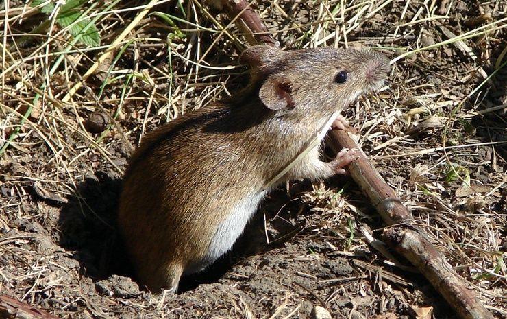 полевые мыши